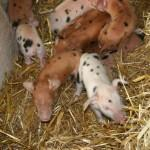 Piglets at Odds Farm Park