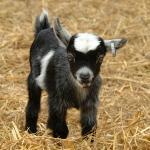 Pygmy Goat at Odds Farm