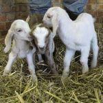 Triplet Goats at Odds Farm