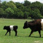 Belted Galloway Calf at Odds Farm