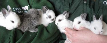 Netherland Dwarf Rabbits at Odds Farm Park