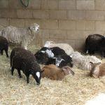 Lambs at Odds Farm