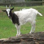 Bagot Goat at Odds Farm