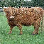Highland Cow at Odds Farm