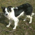 Millie the Sheepdog