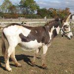 New Donkey at Odds Farm