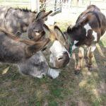 Donkeys Meet for the first time at Odds Farm