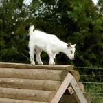 Goat at Odds Farm