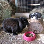French Lop Bunnies at Odds Farm