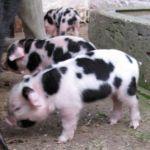 New Piglets at Odds Farm