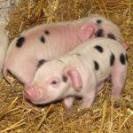 Gloucestershire Old Spot piglets at Odds Farm Park