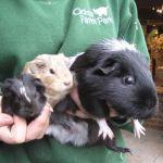 Guinea Pigs at Odds Farm Park