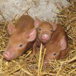 Tamworth Piglets at Odds Farm Park