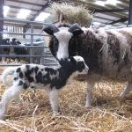 First lamb of the year at Odds Farm Park