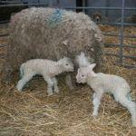 First twins born this year at Odds Farm Park - Greyface Dartmoor sheep