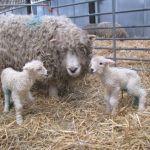 Greyface Dartmoor Twins at Odds Farm Park