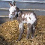 New cute baby donkey at Odds Farm Park