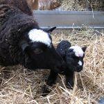 First Balwen lamb of the year at Odds Farm Park (2010)