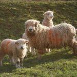 Greyface lambs at Odds Farm Park