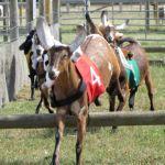 Goat Racing At Odds Farm Park