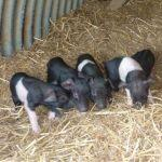 New Piglets At Odds Farm Park