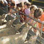 Bottle Feed Lambs At Odds Farm Park
