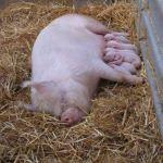 Bramble And Piglets At Odds Farm Park
