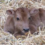 Bertie The Jersey Calf At Odds Farm Park