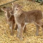 Castlemilk Moorit Lambs At Odds Farm Park