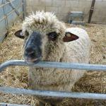 Diesel The Oxford Down Ram At Odds Farm Park