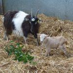 Annie The Bagot Goat With Cute Kid Benji