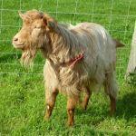 Cheeky Harry The Golden Guernsey Goat