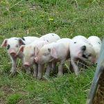 Adorable Gloucester Old Spot Piglets At Odds Farm Park