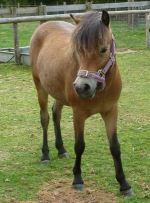 Celestia The Exmoor Pony At Odds Farm Park