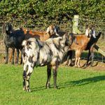 Anglo Nubian Billy Goat Barnaby At Odds Farm Park