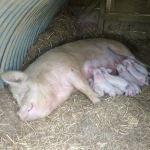 Piglets Galore At Odds Farm Park!