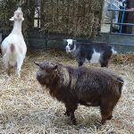 Pygmy Billy Goat Rufus At Odds Farm Park