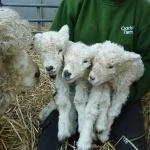 Christmas Lambs At Odds Farm Park