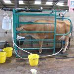 Cow Milking At Odds Farm Park