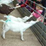 Bottle Feed Kid Goats At Odds Farm Park