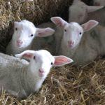 There's Plenty Of Lambs Due At Odds Farm Park