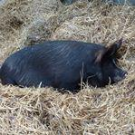 Ginnie The Berkshire Pig At Odds Farm Park