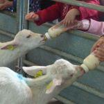 Bottle Feeding Kid Goats At Odds Farm Park