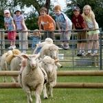 Sheep Racing At Odds Farm Park