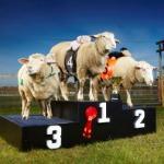 Lamborghini - The World Record Breaking Sheep