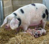 Kate And Her Piglets At Odds Farm Park