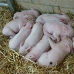 Iggle Piggle's Piglets