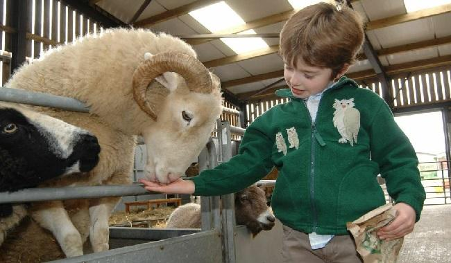 Boy feeding sheep at Odds Farm