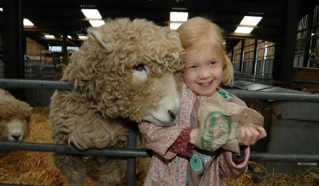 girl feeds sheep