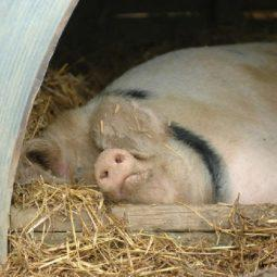 Sleeping pig at Odds Farm Park